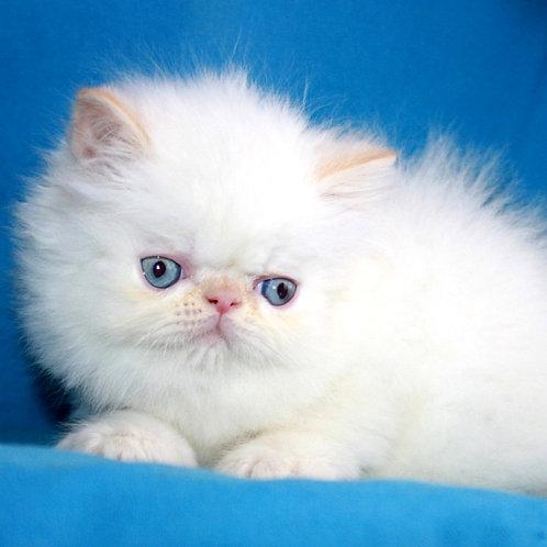 5 Lui  Persian  male kitten