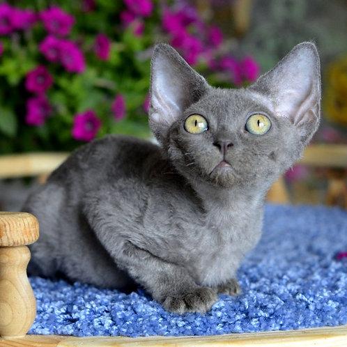 414 Xochipilli   female Devon Rex kitten
