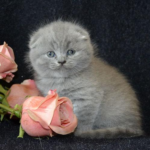 Tom Scottish fold shorthair male kitten