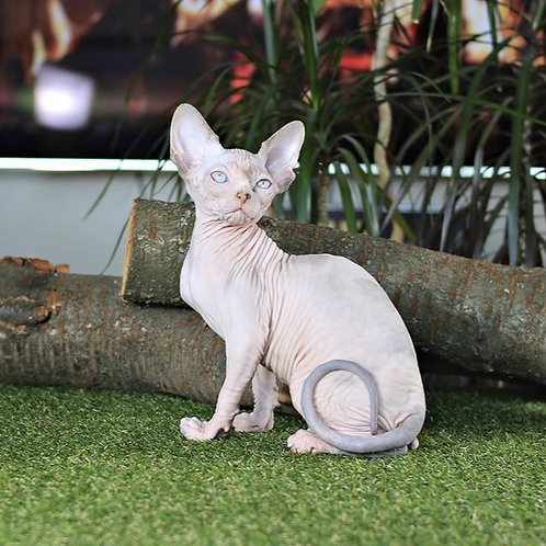 Tracy female Sphinx kitten
