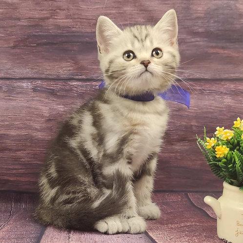 582 Sherlock   Scottish straight shorthair male kitten