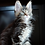 Thumbnail: 687 Ben Gan  Maine Coon male kitten