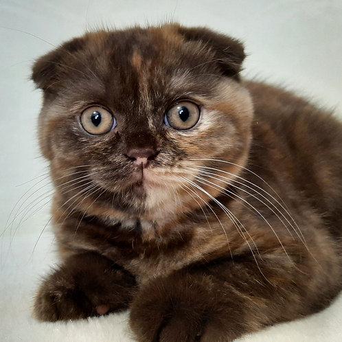 670 Daniya   Scottish fold shorthair female kitten