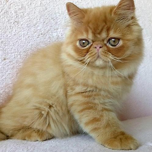 Rostik Persian male kitten