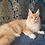 Thumbnail: 359 Ferdinand    Maine Coon male kitten