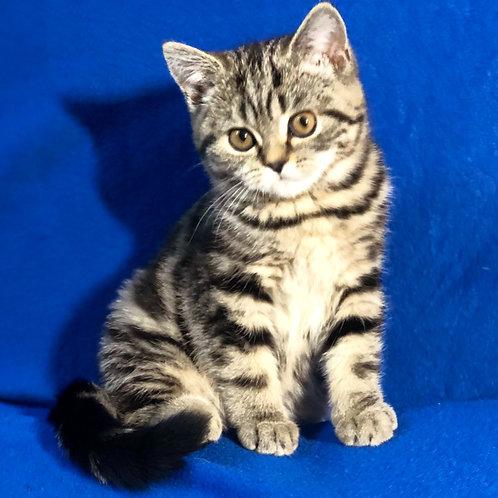 323 Brittany    Scottish straight shorthair female kitten