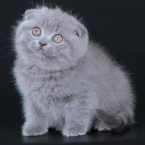 477 Prometey    Scottish fold shorthair male kitten