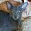 Thumbnail: 629 Vasudev   Oriental male kitten