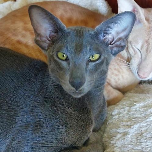 629 Vasudev   Oriental male kitten