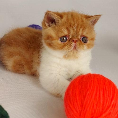 44 Grays     Exotic shorthair female kitten