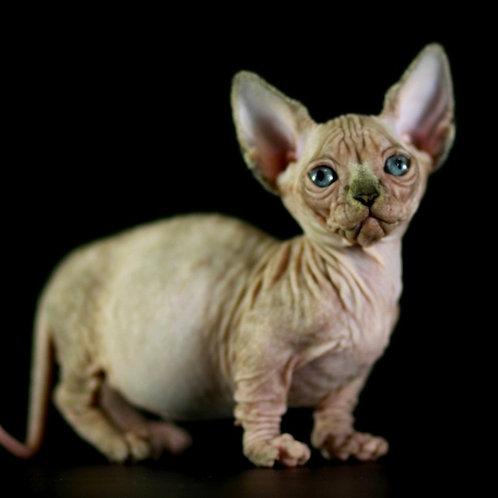 405 Duchess female Bambino  kitten