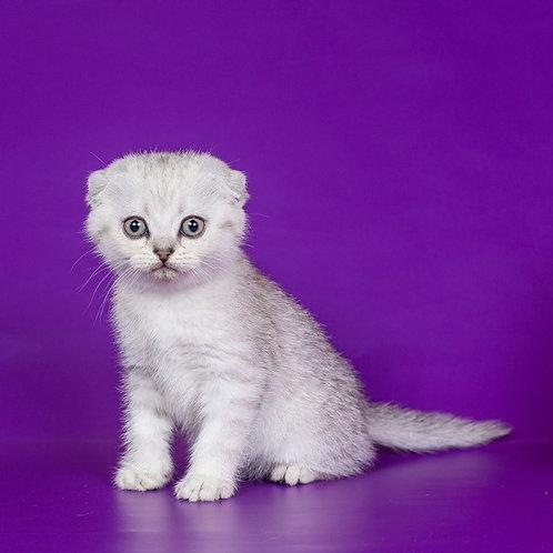 Bradley Scottish fold shorthair male kitten