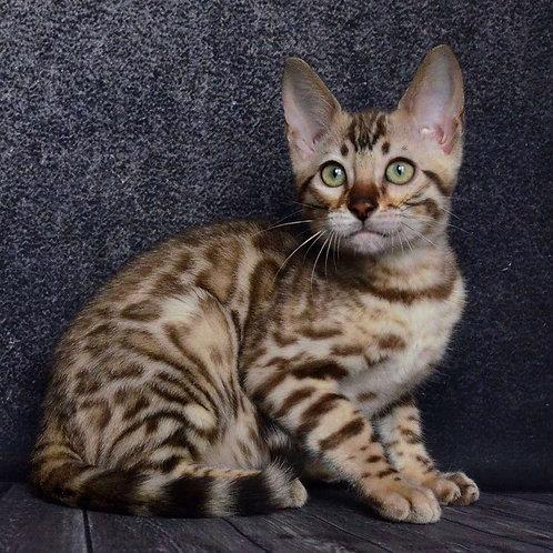 211 Barney purebred Bengal male kitten