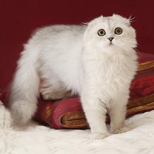 448 Christal    Scottish fold longhair female kitten