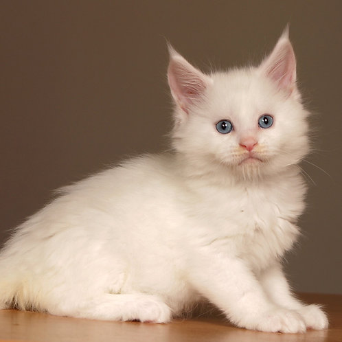 47 Lourdes  Maine Coon male kitten