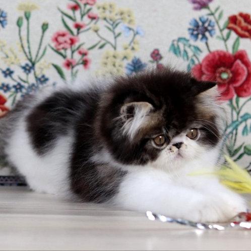 119 Grant   Persian  male kitten