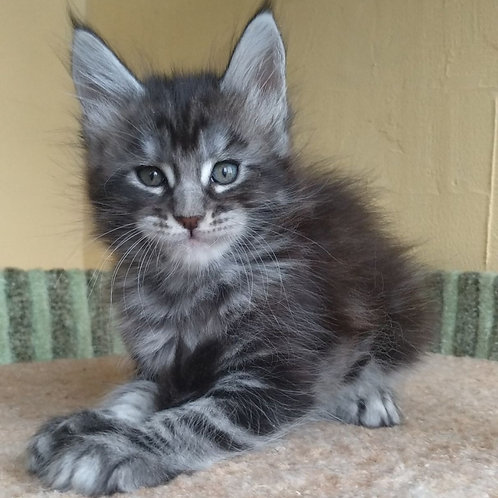 617 Dakota Maine Coon female kitten