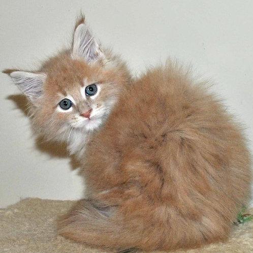 888 Heavy Maine Coon male kitten