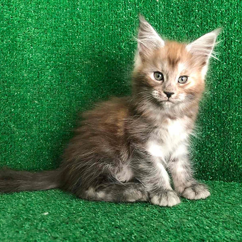 Hassi Maine Coon female kitten