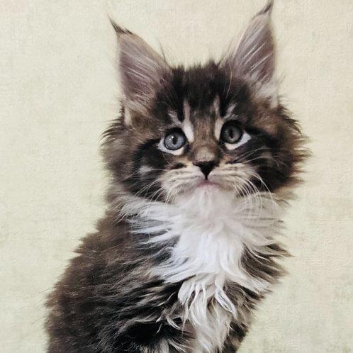 303 Kirill (polydactyl 6/6/5/5)  Maine Coon male kitten