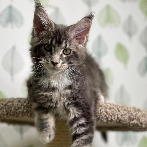 154 Tehran  Maine Coon male kitten