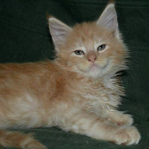 243 Meggy    Maine Coon female kitten