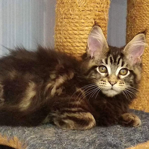261 Leona     Maine Coon female kitten