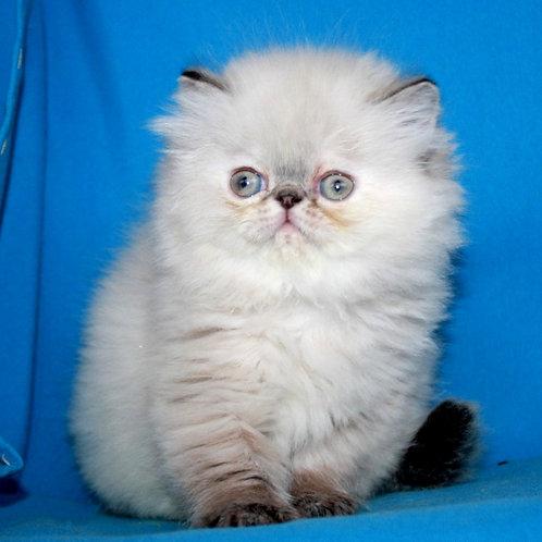15 Laima Persian  female kitten