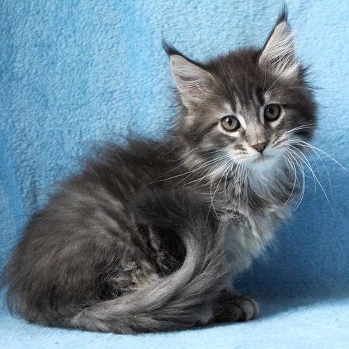 316 Odette  Maine Coon female kitten