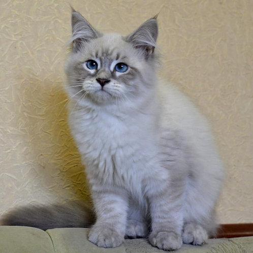 123 Elizabeth Ellbrante     Siberian female kitten