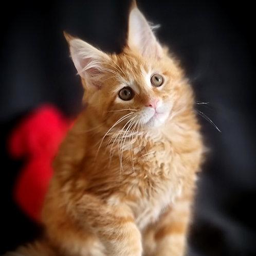 266 German  Maine Coon male kitten