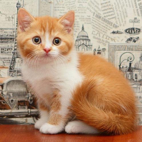764 Creativ  British shorthair male kitten