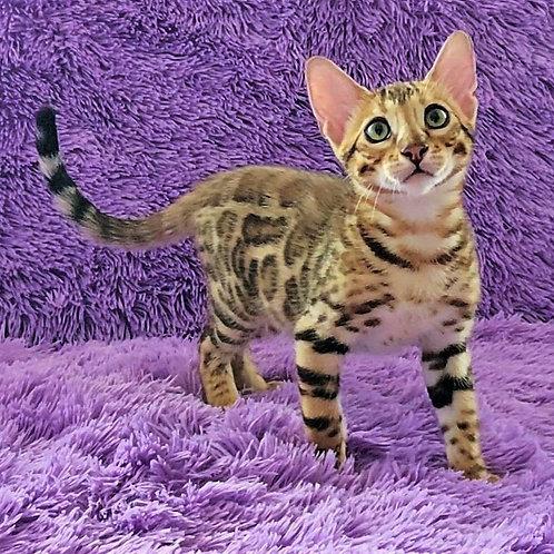 Villi purebred Bengal male kitten
