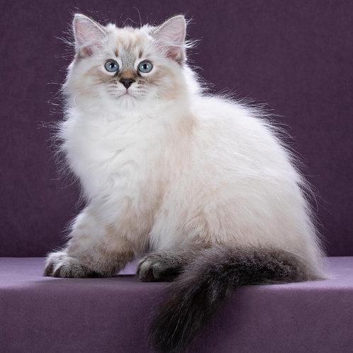 268 Arnold   Siberian male kitten
