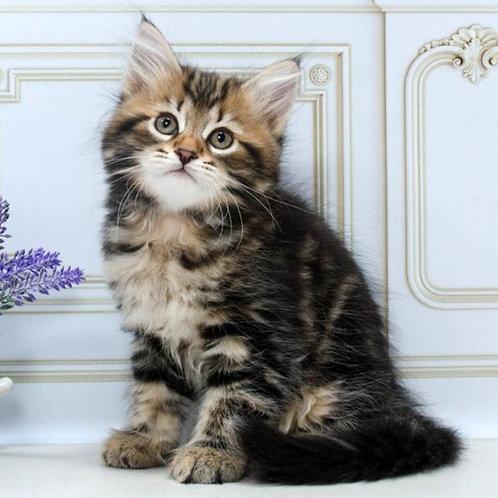 89 Lux    Siberian male kitten