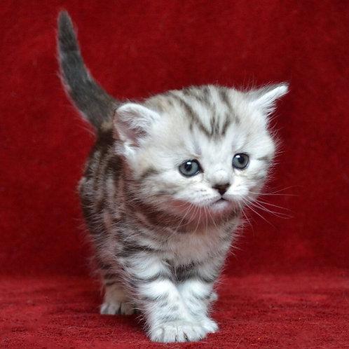480 Roxy      Scottish straight shorthair female kitten
