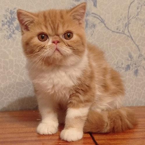 157 Lupsy Exotic shorthair male kitten
