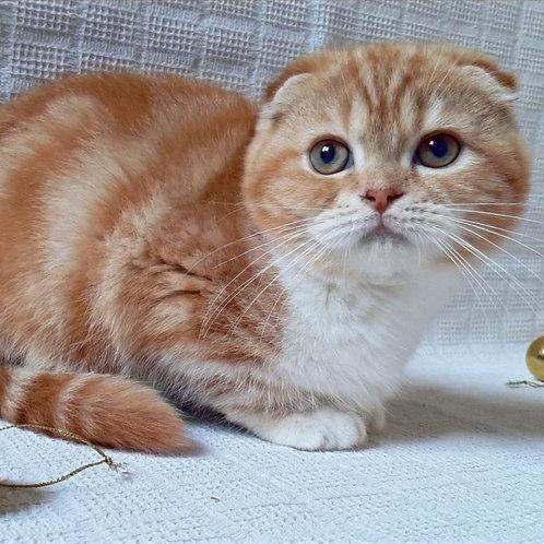 43 Garfield  Scottish fold shorthair male kitten