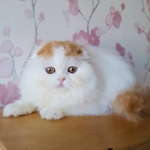 291 Peyton    Scottish fold longhair male kitten
