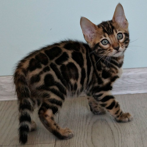 218  Cameron purebred Bengal male kitten