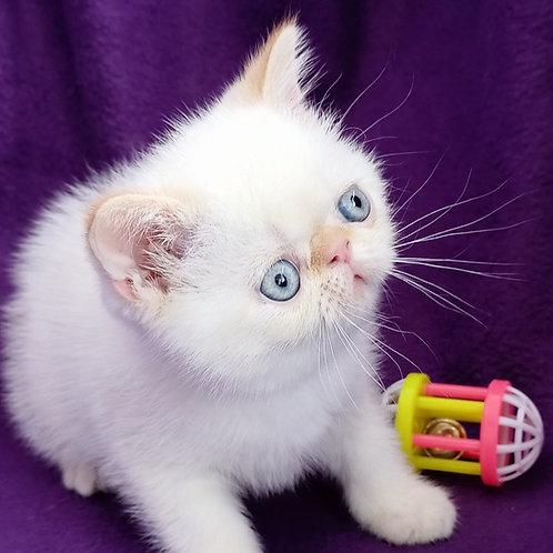 92 Ralf  Exotic  male kitten