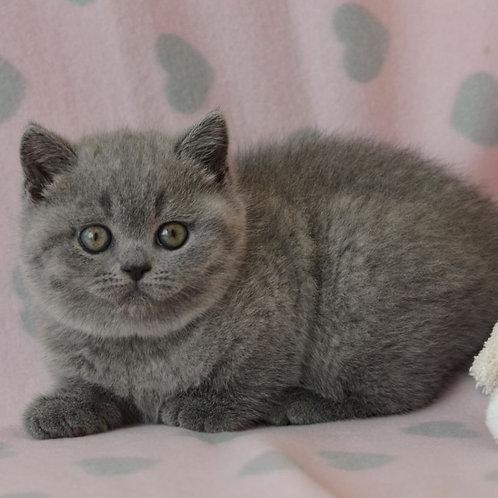 698 Yaroslava  British shorthair female kitten