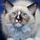 Thumbnail: 158 Burny    Ragdoll male kitten