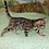 Thumbnail: 159 Azalia  purebred Bengal female kitten