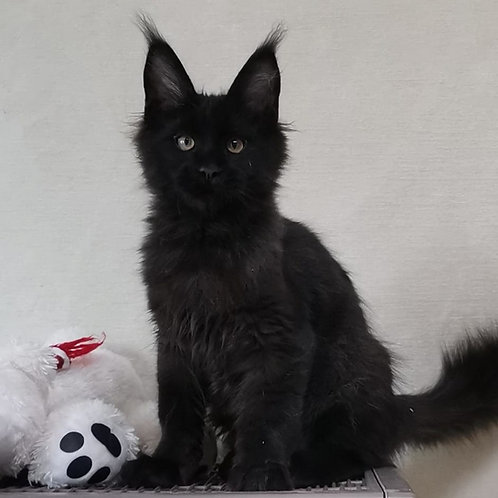 541 Z*Humphrey    Maine Coon male kitten