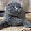 Thumbnail: 456 Vikki       Scottish fold shorthair female kitten