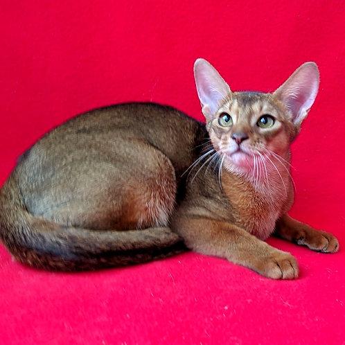 138 Emmanuela  purebred Abyssinian female kitten