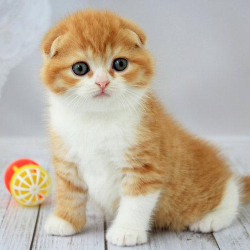 741 Irbis   Scottish fold shorthair male kitten