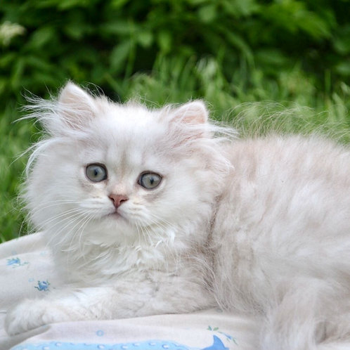 663 Martin  British longhair male kitten