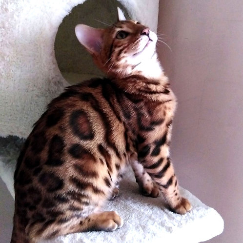 272 Joy  purebred Bengal male kitten